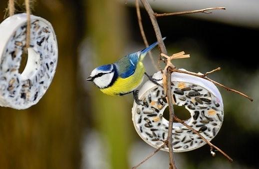 Tit, Bird, Tit Rings, Songbird, Animal